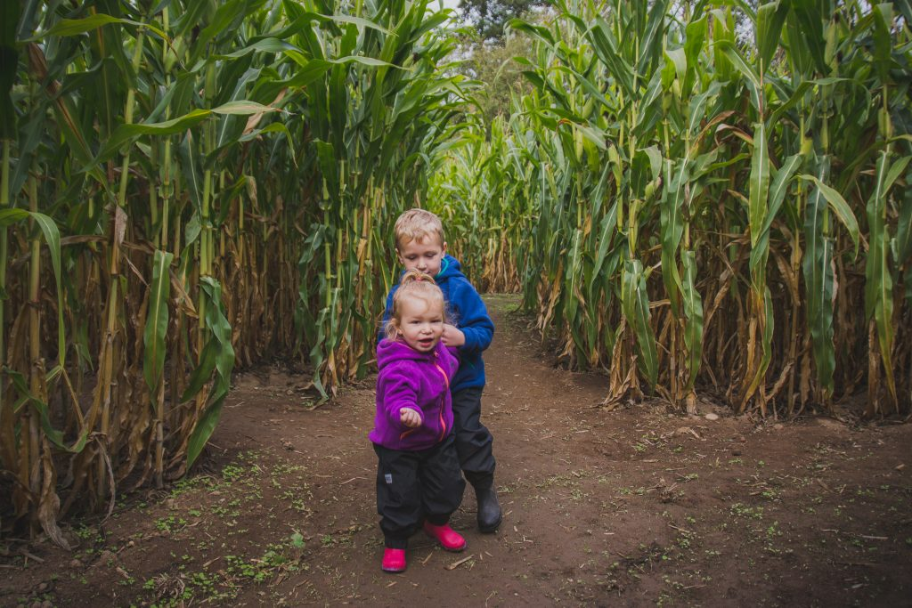 Kidlets in the Corn Maze at Hazelmere Pumpkin Patch