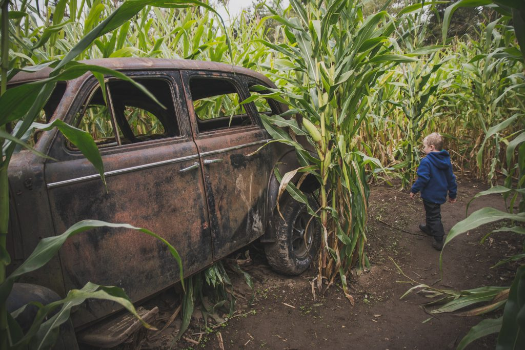 The old car in the corn maze
