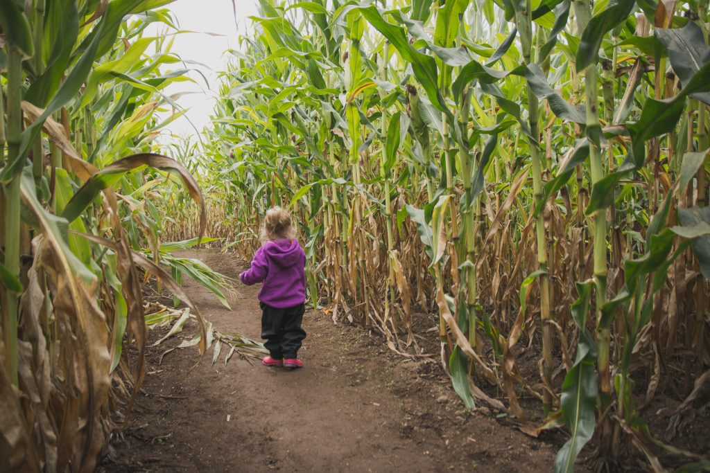 'W' exploring on her own in the Corn Maze